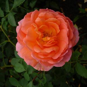 Сколько шарма, прелести, изыска, сколько силы в царственном цветке!