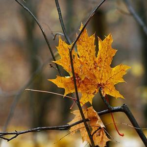 Жёлтый лист за листом опадает с ветвей...