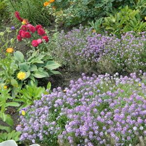 Лобулярия цветет