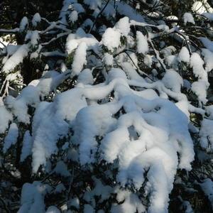 Снежная лапка