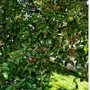 Поздняя, но очень вкусная яблоня