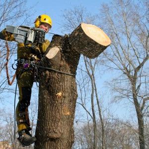 Производим спил деревьев