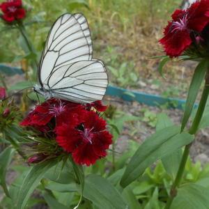 Бабочка на гвоздике