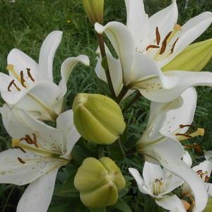 Любимая лилия