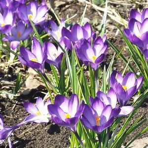 Крокусы весною - глаз не оторвать, маленький цветочек далеко видать!