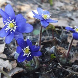 Печеночница первоцвет - милей цветка, пожалуй, нет!