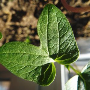 Ипомеи вот листок -  как зеленый мотылек!