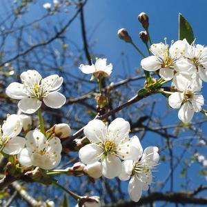 Вишня, вишенка моя - цветет с тобой моя весна!