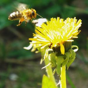 Пчелка)