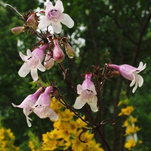 Подскажите название этого бело-розового цветка