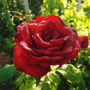 Роза и роса - небывалая краса