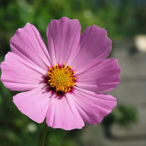 Космея - простота и красота в воздушном цветке