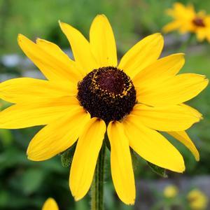 Кареглазый мой цветочек солнцем послан удивлять - простота и просто стойкойсть сердце будет покорять