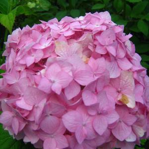 Гортензии цветут!