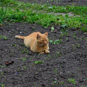 Рыжик проверяет всходы морковки