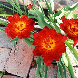 Огненные махровые тюльпаны...
