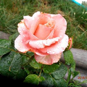 Розочка после дождя
