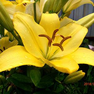 Жёлтые лилии в каплях дождя