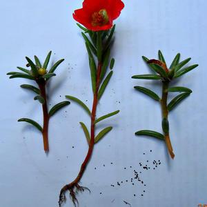 Портулак (в народе коврик) - корень, листья, цвет, семенные коробочки и семена