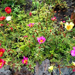 Портулак (коврик) с яркими расцветками