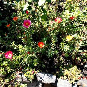 Цветущий портулак под розами