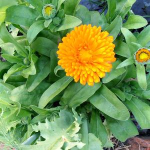 Календула солнечный цветочек
