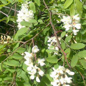 Белой акации гроздья душистые...
