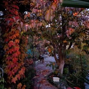 Осенняя хурма