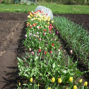 Тюльпаны и чеснок