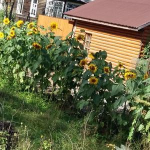 Изгородь из подсолнухов