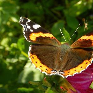Велюровая бабочка