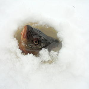 Здесь рыбы нет!