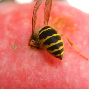 Вот такие чудеса, впилась в яблоко оса