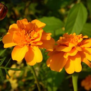 Бархатцы не хуже розы, цветут до самых до морозов