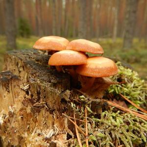 Выросли в лесочке, кнопочки грибочки
