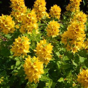 Самый солнечный цветок
