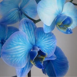 Моя синяя орхидея