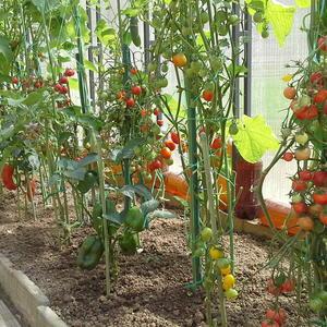 В теплице все овощные культуры дружны - огурцы, томаты, баклажаны и перцы