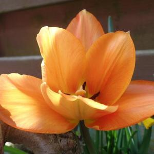 Оранжевый цветочек, почти как в сказке про аленький!