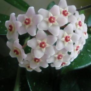 Цветет хойя