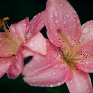 Лилии после дождя