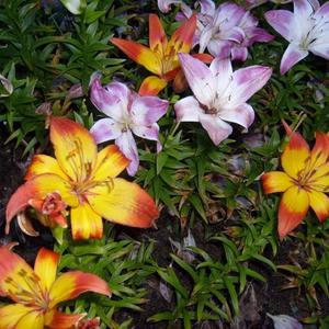 Разноцветные лилии
