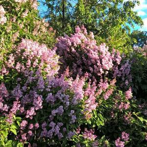 Цветут сады