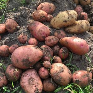 Картошка разного калибра