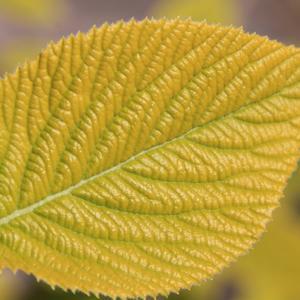 Калина гордовина желтолистная