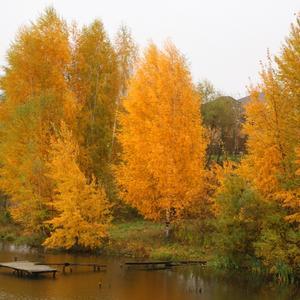 Листья падают с берёзы - скоро зимние морозы...