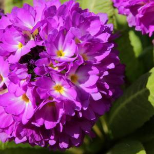 Примула мелкозубчатая Виолет