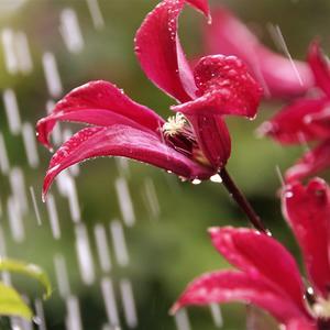 Они и в дождь прекрасны!