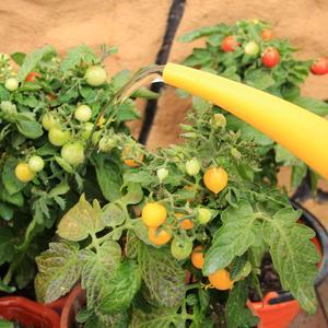 Эти томаты в горшочках живут. Водичку они каждый день от меня ждут