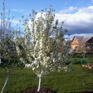 Расцветали яблони и груши...